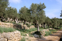 1 EL CAMI DE MULETA - Tours - Olive oil tourism - Balearic Islands - Agrifoodstuffs, designations of origin and Balearic gastronomy
