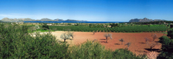 OLI SOLIVELLAS - Balearic Islands - Agrifoodstuffs, designations of origin and Balearic gastronomy
