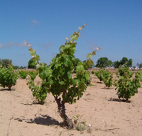 Formentera Regional Wine - Balearic Islands - Agrifoodstuffs, designations of origin and Balearic gastronomy
