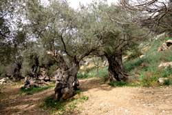 3 CAMÍ DE LA FONT GARROVER - Tours - Olive oil tourism - Balearic Islands - Agrifoodstuffs, designations of origin and Balearic gastronomy