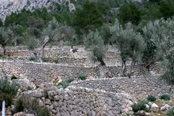 2   EL BARRANC DE BINIARAIX - Tours - Olive oil tourism - Balearic Islands - Agrifoodstuffs, designations of origin and Balearic gastronomy